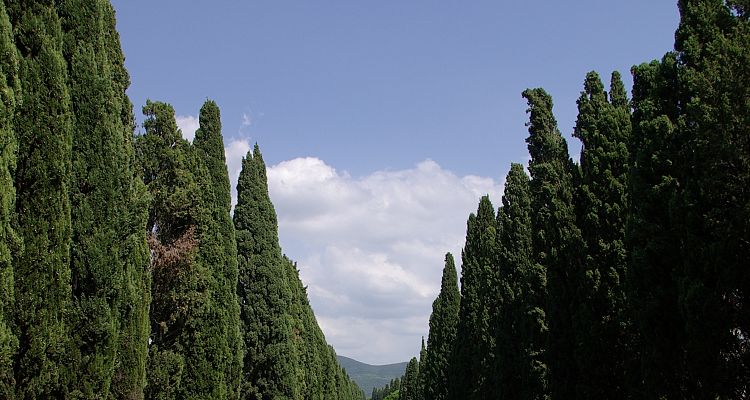 The famous cypresses of Bolgheri in Tuscany